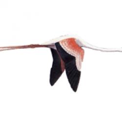 Flamenco (Phoenicopterus ruber)